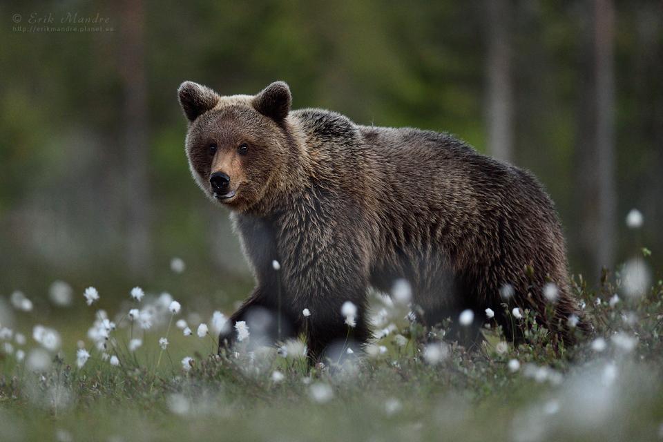 Karu suveöisel maastikul